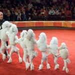 Цирк на Фонтанке дрессированные пудели – П. Простецов