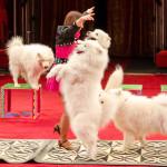 Дрессированные собачки под руководством заслуженного артиста России Сергея Рубцова