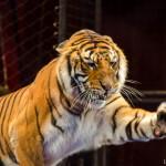 Тигр-шоу Багдасаровых